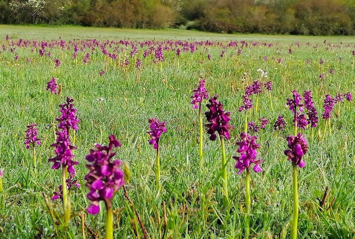 orchidee prato
