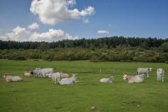1_mucche